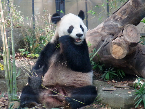20111129_panda.jpg
