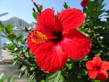 hibiscus-1586414_350.jpg